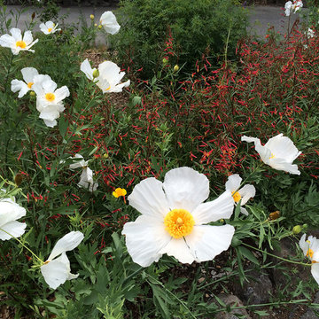 Favorite California Native Plants I Design With in Northern CA