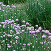 Herb Garden Essentials: How to Grow Chives
