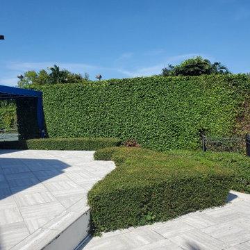 Ficus Hedge