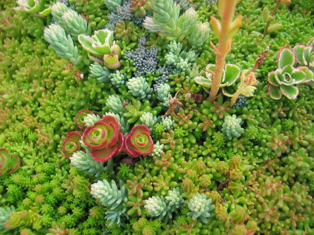 Mauerpfeffer Essbar wo der mauerpfeffer wächst sedum die korallen des festlands