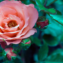 Learn the Secret to Bigger and Better Roses