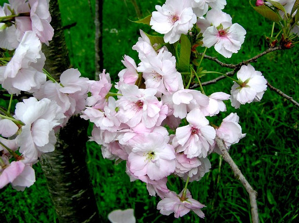 Landscape flowering cherry tree for Trees for tight spaces