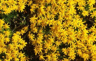 Great Native Plant: Damianita