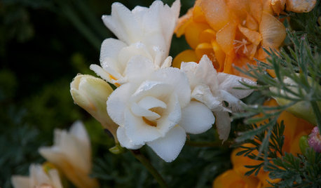 Plant Freesias for Sweet-Smelling Blooms in Spring