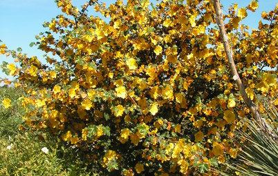 Great Native Plant: California Flannel Bush