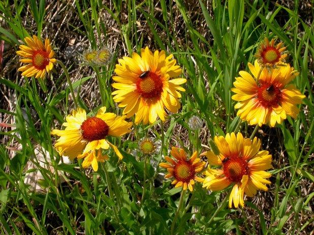 Garden Gaillardia Aristata Flowers