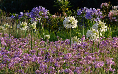 Glorious Purple Blooms Bring a Crowning Touch to Gardens