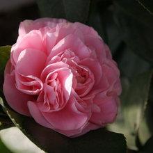 Mild-Winter Gardens Celebrate Colorful Camellias