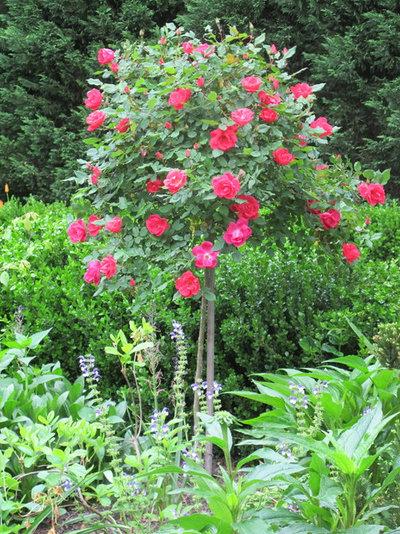 Oh maggio oh le rose l aiuto dell esperto per sceglierle - Rose coltivazione in giardino ...