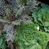 Great Design Plant: Ornamental Cabbage and Kale