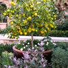 Come Coltivare in Vaso Agrumi e Altri Frutti