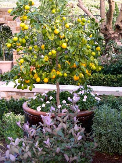 Come coltivare in vaso agrumi e altri frutti for Acquistare piante di agrumi