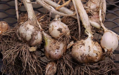 Cool-Season Vegetables: How to Grow Garlic
