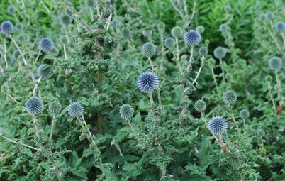 Great Design Plant: Globe Thistle