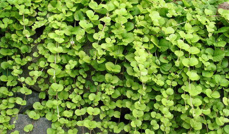 Great Design Plant: Golden Creeping Jenny