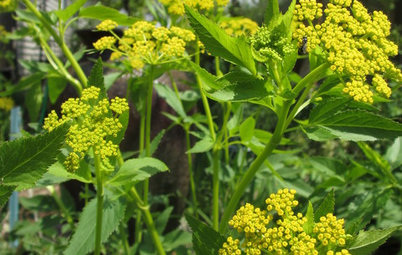 Great Design Plant: Golden Alexanders for Early Spring Color