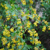 Great Design Plant: Golden Currant