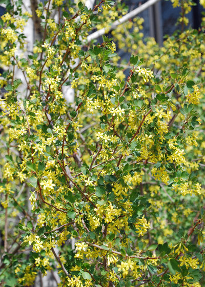 Great design plant golden currant traditional landscape by jocelyn h chilvers mightylinksfo