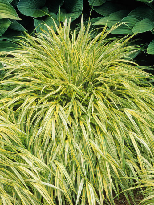 Japanese ornamental grass images for Japanese ornamental grass