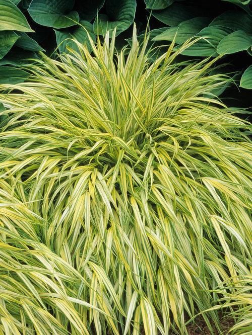 Japanese ornamental grass images for Japanese ornamental grass