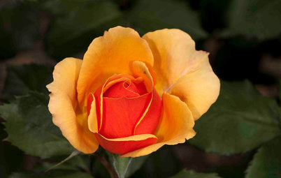 5 Exotic Rose Colors for a Beautifully Different Garden