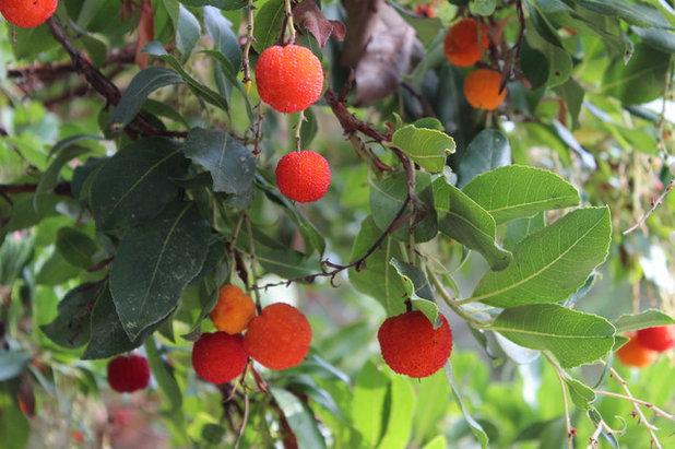 Great Design Plant: Arbutus 'Marina'  Strawberry
