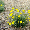 Great Design Plant: Desert Marigold Cheers Up Hot, Dry Areas