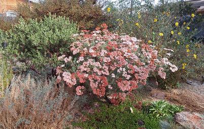Great Design Plant: Eriogonum Arborescens