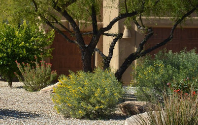 Great Design Plant: Feathery Cassia for Fragrance in Arid Gardens