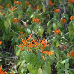 Great Design Plant: Mexican Honeysuckle