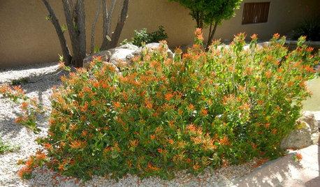 Great Design Plant: Justicia Spicigera Brings In the Hummingbirds