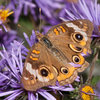Great Design Plant: Symphyotrichum Novae-Angliae Ushers in Fall
