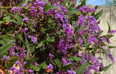 Great Design Plant: Lilac Vine for a Purple Profusion in Winter