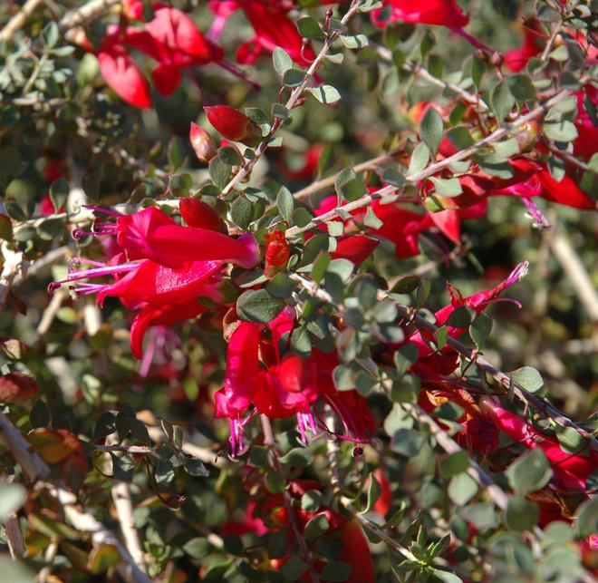 Great Design Plant Valentine Bush For Heartfelt Winter Color