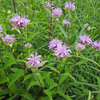 Great Design Plant: Wild Bergamot, Friend of Foragers