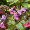 Great Design Plant: Lungwort