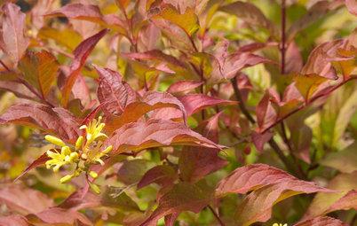 Great Design Plant: Northern Bush Honeysuckle, a Bronze Beauty