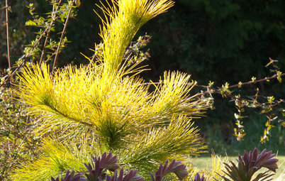 Great Design Plant:  Louie Eastern White Pine