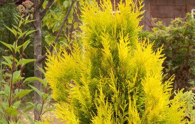 Great Design Plant: 'Forever Goldie' Arborvitae