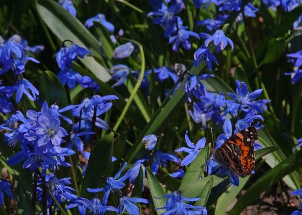6 splendid blue flowering bulbs contemporary landscape by barbara pintozzi mightylinksfo Choice Image