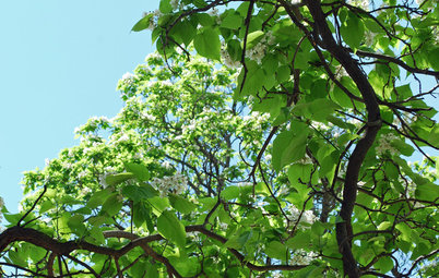 Great Design Plant: Retreat to the Shade of Hardy Catalpa