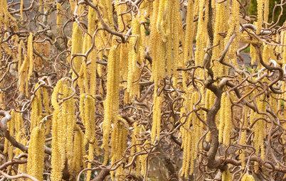 Great Design Plant: Harry Lauder's Walking Stick