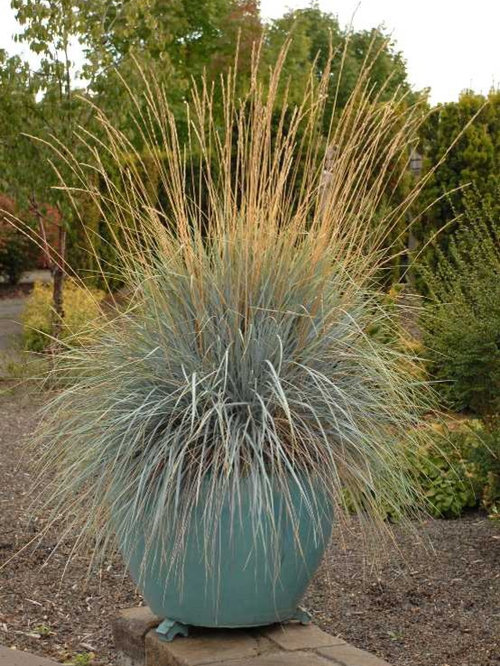 Blue oat grass home design ideas pictures remodel and decor for Spiky ornamental grass