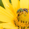 Great Design Plant: Heliopsis Helianthoides, a Pollinator Favorite