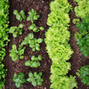 10 Edible Greens to Plant Now