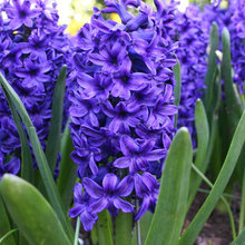 Fall Planting: No Bulb Garden Is Complete Without a Hyacinth