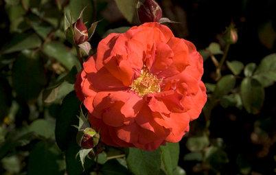 6 Captivating Roses for an Alluringly Fragrant Garden