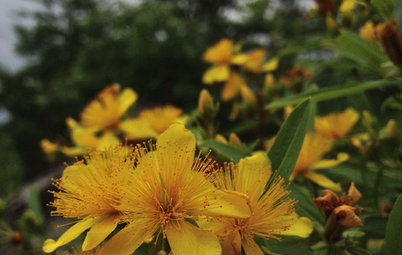 Hypericum Prolificum Brings the Best of St. Johnswort to the Garden