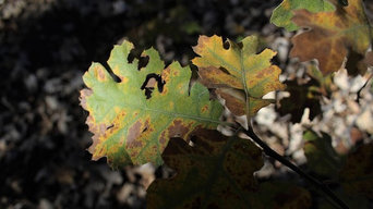 Identifying Oak Wilt and Tree Diseases