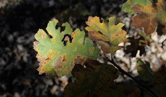 Identifying Oak Wilt and Tree Diseases